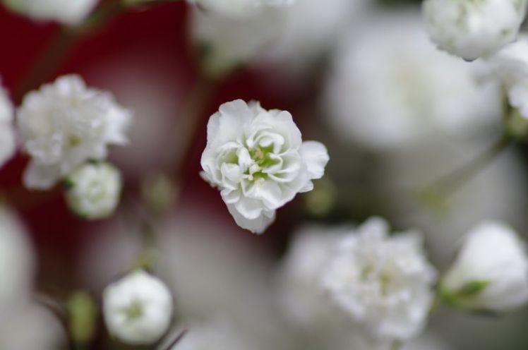 La Paniculata | Características, hábitat, propiedades 1